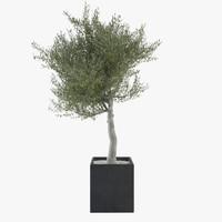 max olive tree