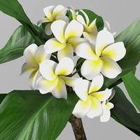 maya plant plumeria