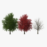 3d red maple tree