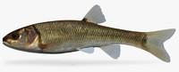 semotilus atromaculatus creek chub 3d fbx