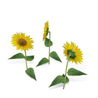 free c4d mode sunflower flower