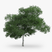 3d downy birch 6 9m model