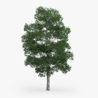 3d model downy birch 11 1m