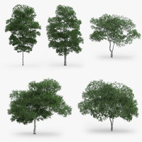 downy birch trees 3d model