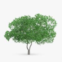 3d model white birch 9 2m