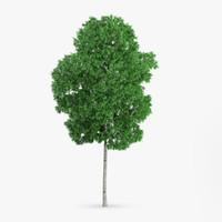 White Birch Tree 10.4m