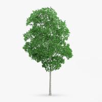 maya white birch 13 6m