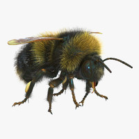 bumblebee bumble bee 3d model
