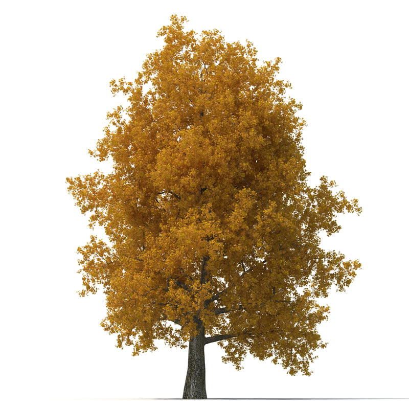 Yellow Poplar Old Tree Autumn 3d model 01.jpg