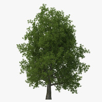 yellow poplar old tree 3d model