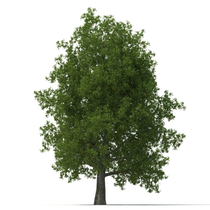 Yellow Poplar Old Tree Summer 3d model 01.jpg