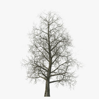 3d model yellow poplar old tree