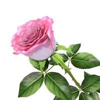 3d rose v4 model