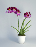 miltonia flower 3d 3ds