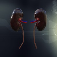 3d human kidney anatomy model
