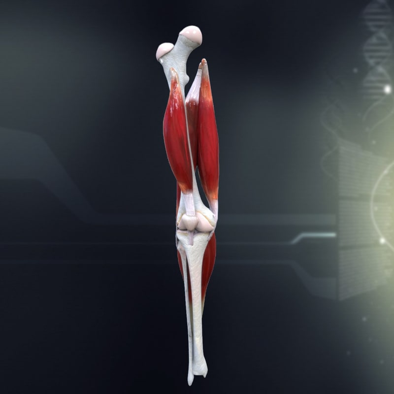 human_knee_joint_antomy_3d_model_c4d_max_obj_fbx_ma_lwo_3ds_3dm_stl_1300948_o.jpg
