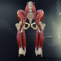 lightwave human pelvis muscle bone anatomy