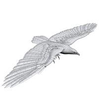 Eagle Untextured