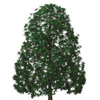 Magnolia grandiflora Southern Magnolia planet and tree