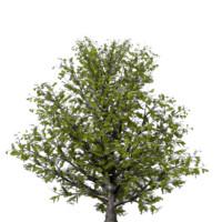 3 model pack Cornus kousa Kousa Dogwood Plant and Tree