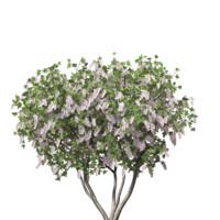 3 model pack Lagerstroemia indica Crape Myrtle Plant Tree