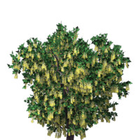 3 model pack Laburnum anagyroides Golden Chain plant and tree