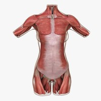 3d model muscle anatomy female torso