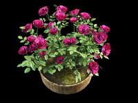 rose pot max