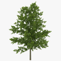 red oak young tree 3d model