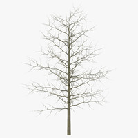 3d red oak young tree winter