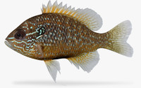 lepomis marginatus dollar sunfish 3d ma