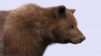 bear xgen fur 3d model