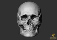 3d model of human skull european female