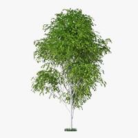 birch tree obj