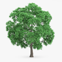 3d model of japanese chestnut 12 6m