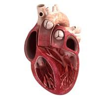 human heart slice 3d model