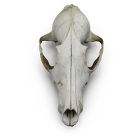 3dsmax animal skull