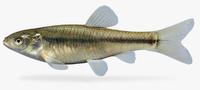 3d pimephales promelas fathead minnow model