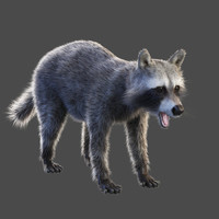 raccoon v-ray 3d model