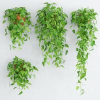 Scandens plant 5