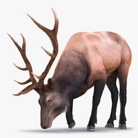 3d model elk pose 3 fur