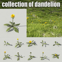 Dandelion collection