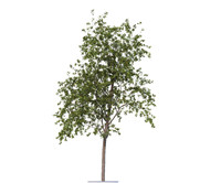 rowan-tree seasons 3d obj