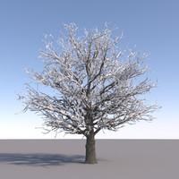 maya oak tree