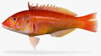 3d model bleeding wrasse