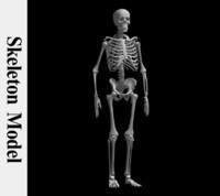 realistic human skeleton bones 3d model