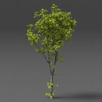 elm tree b 3d model