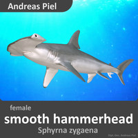 c4d female smooth hammerhead shark