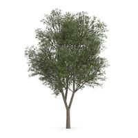 Austrian oak (Quercus cerris)