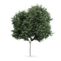 3d field maple tree acer model
